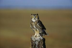 Great Horned Owl Perching on Post by W. Perry Conway