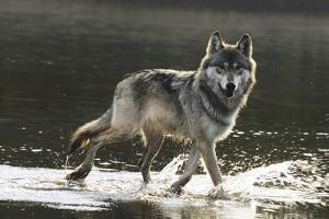 Grey Wolf Walking along the Kettle River by W. Perry Conway