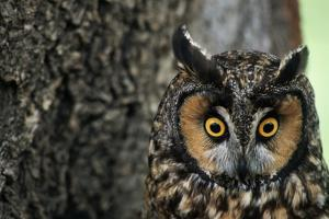 Long-Eared Owl with Suprised Expression by W. Perry Conway