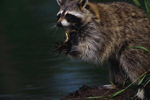 Raccoon Eating a Leopard Frog by W. Perry Conway