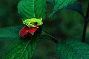Red Eyed Tree Frog on a Rain Forest Flower by W. Perry Conway