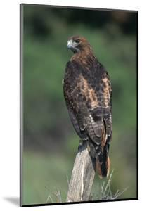 Red-Tailed Hawk Perches on Post by W^ Perry Conway