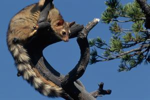 Ringtail Sitting in Pine Tree by W^ Perry Conway