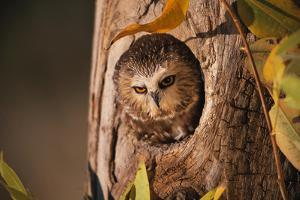 Saw-Whet Owl in Aspen Tree by W^ Perry Conway