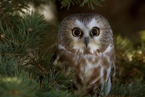 Saw-Whet Owl in Pine Tree by W. Perry Conway