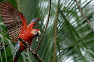 Scarlet Macaw by W. Perry Conway