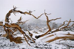 Snow Covered Bristlecone Pine on Mount Goliath by W. Perry Conway