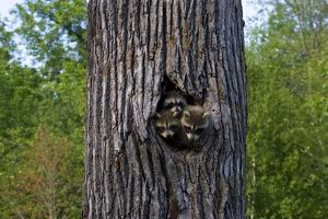 Three Racoons in Hollow of Tree by W. Perry Conway