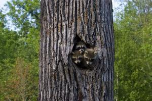 Three Racoons in Hollow of Tree by W^ Perry Conway