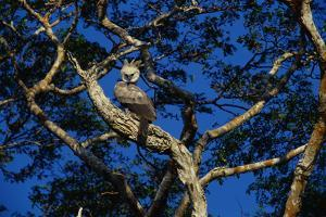 Young Harpy Eagle Perched in Tree by W. Perry Conway