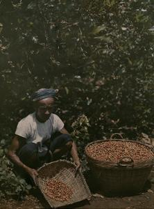Coffee Picker Rests with a Basket of Berries by W. Robert Moore