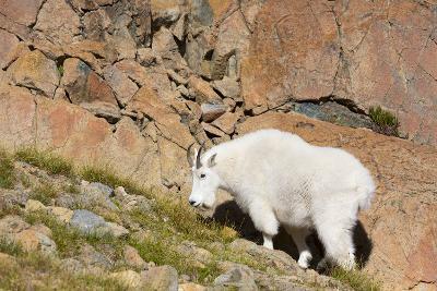 Wa, Alpine Lakes Wilderness, Ingalls Lake Area, Nanny Goat-Jamie And Judy Wild-Photographic Print