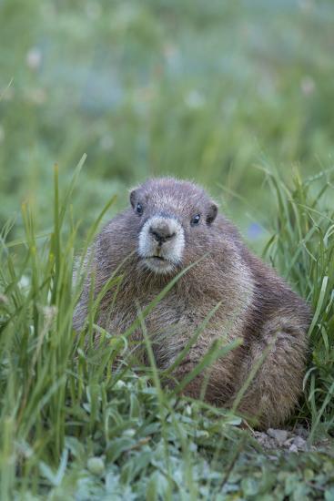 WA. Endemic Olympic Marmot (Marmota olympus) juvenile near Hurricane Ridge, Olympic National Park.-Gary Luhm-Photographic Print