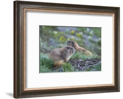 WA. Endemic Olympic Marmot (Marmota olympus) juveniles romp near Hurricane Ridge, Olympic NP.-Gary Luhm-Framed Photographic Print