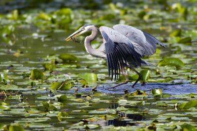 Wa, Juanita Bay Wetland, Great Blue Heron, Ardea Herodias, with Fish-Jamie And Judy Wild-Photographic Print