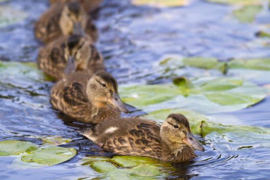Wa, Juanita Bay Wetland, Mallard Ducklings, Anas Platyrhynchos-Jamie And Judy Wild-Photographic Print