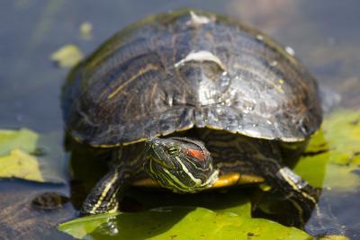 Wa, Juanita, Juanita Bay Wetland, Painted Turtle, Chrysemys Picta-Jamie And Judy Wild-Photographic Print