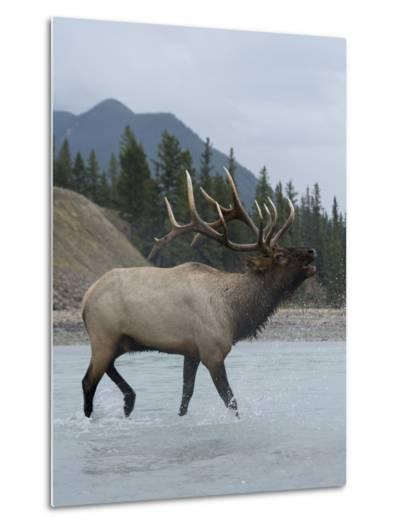Wading in a River, a Bull Elk, Cervus Canadensis, Bugles-Barrett Hedges-Metal Print