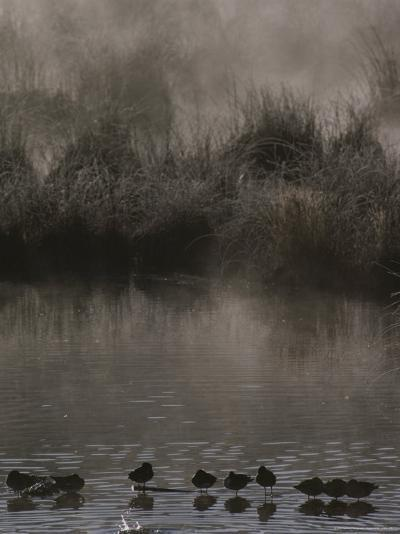 Wading Marsh Birds in Early Morning Fog, Grand Teton National Park-Raymond Gehman-Photographic Print