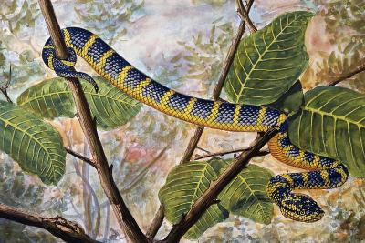 Wagler's Pit Viper or Temple Viper (Trimeresurus Wagleri), Viperidae--Giclee Print