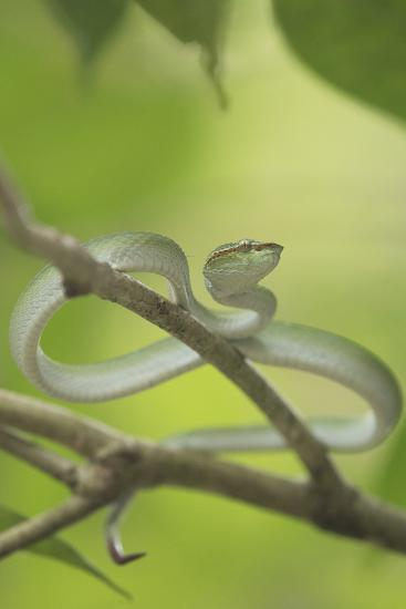 Wagler's Pit Viper Rests In A Tree In Bako National Park, On The Island Of Borneo-Jeff Mauritzen-Photographic Print