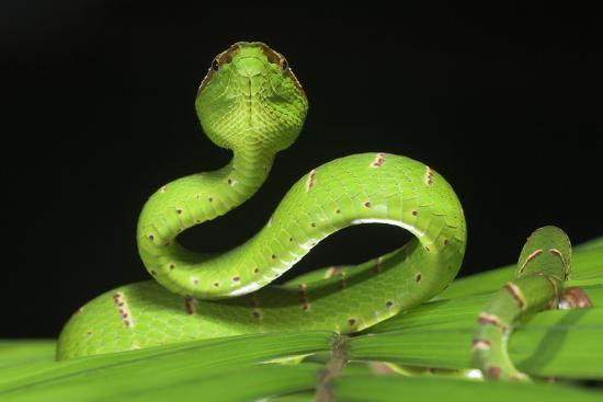 Wagler's Pit Viper (Tropidolaemus Wagleri) Resting in Vegetation. Danum Valley, Sabah, Borneo-Nick Garbutt-Photographic Print