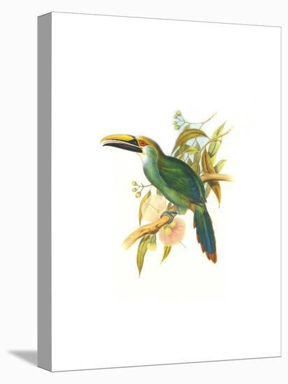 Wagler's Toucanet-John Gould-Stretched Canvas Print