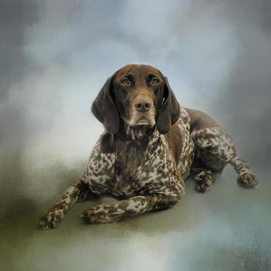 Waiting for a Cue German Shorthaired Pointer-Jai Johnson-Giclee Print