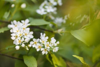 bird cherry, Prunus padus, twig, blossoms