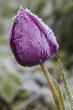 frost-covered tulip