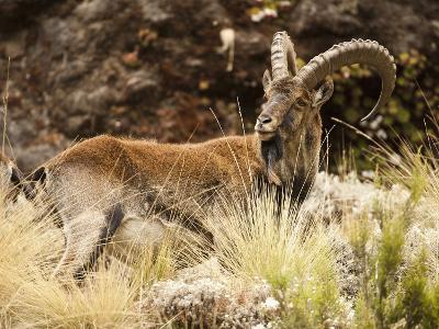 Walia Ibex Male (Capra Walie), Simien Mountains National Park, Ethiopia-Mary Ann McDonald-Photographic Print