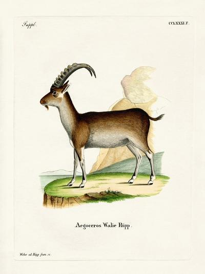 Walia Ibex--Giclee Print
