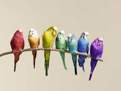 Rainbow Row of Budgies Sat on a Branch by Walker and Walker
