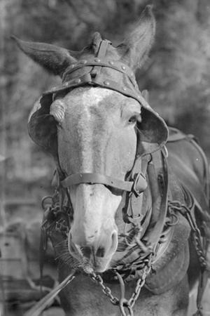 Mule in Hale County, Alabama, c.1936