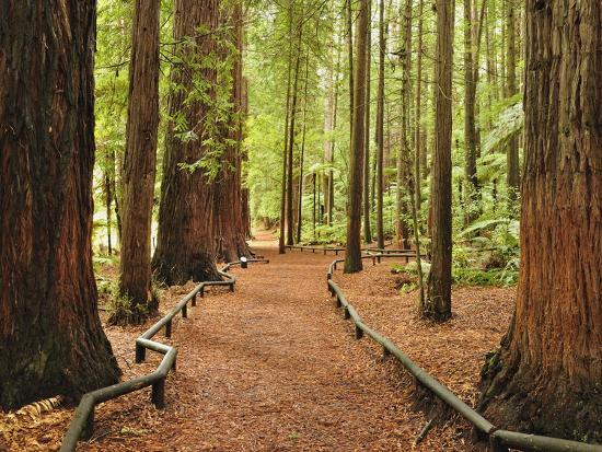 Walkway, the Redwoods, Rotorua, Bay of Plenty, North Island, New Zealand, Pacific-Jochen Schlenker-Photographic Print