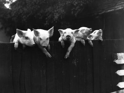 Wall Pigs--Photographic Print