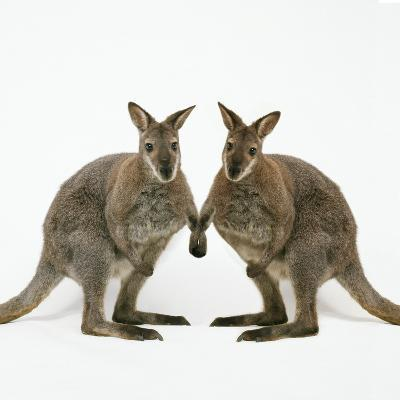 Wallaby X2 Holding Hands-Andy and Clare Teare-Photographic Print