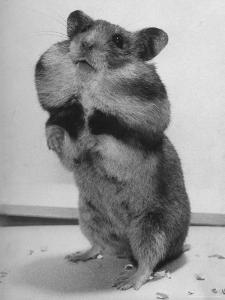 Close Up of Hamster Standing on Its Hind Legs at Chicago University by Wallace Kirkland