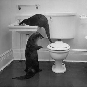 Otters Playing in Bathroom by Wallace Kirkland