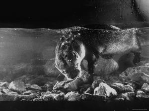 Pet Otter Diving For Frog at Mealtime by Wallace Kirkland