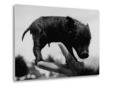 Picture of a Baby Pig in the Palm of a Mans Hand