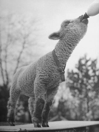 Sheep Drinking from a Bottle by Wallace Kirkland