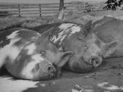 Yorkshire Hogs Smirking with Comfort in Pen on Curtiss Farms Owned by the Curtiss Candy Co. by Wallace Kirkland