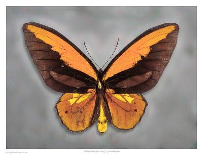 Wallaces Golden Birdwing-Richard Reynolds-Art Print