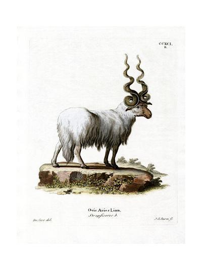 Wallachian Sheep--Giclee Print