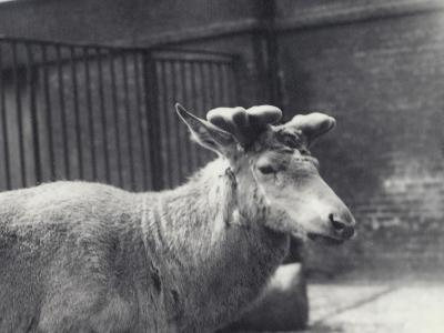 Wallich's Deer Showing Early Stage of Antler Growth, in Velvet, London Zoo, May 1920-Frederick William Bond-Photographic Print
