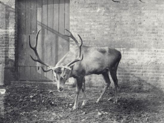Wallich's Deer-Frederick William Bond-Photographic Print