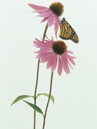 A Monarch Butterfly (Danaus Plexippus) on an Echinacea Flower by Wally Eberhart