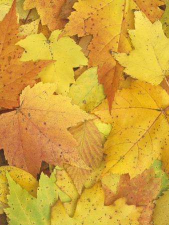 Autumn Maple Leaves on the Ground by Wally Eberhart