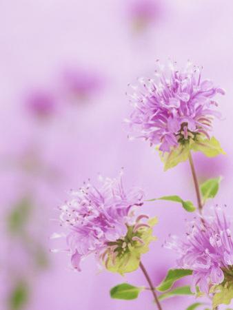 Bee Balm or Bergamot Flowers (Monarda Fistulosa), North America by Wally Eberhart